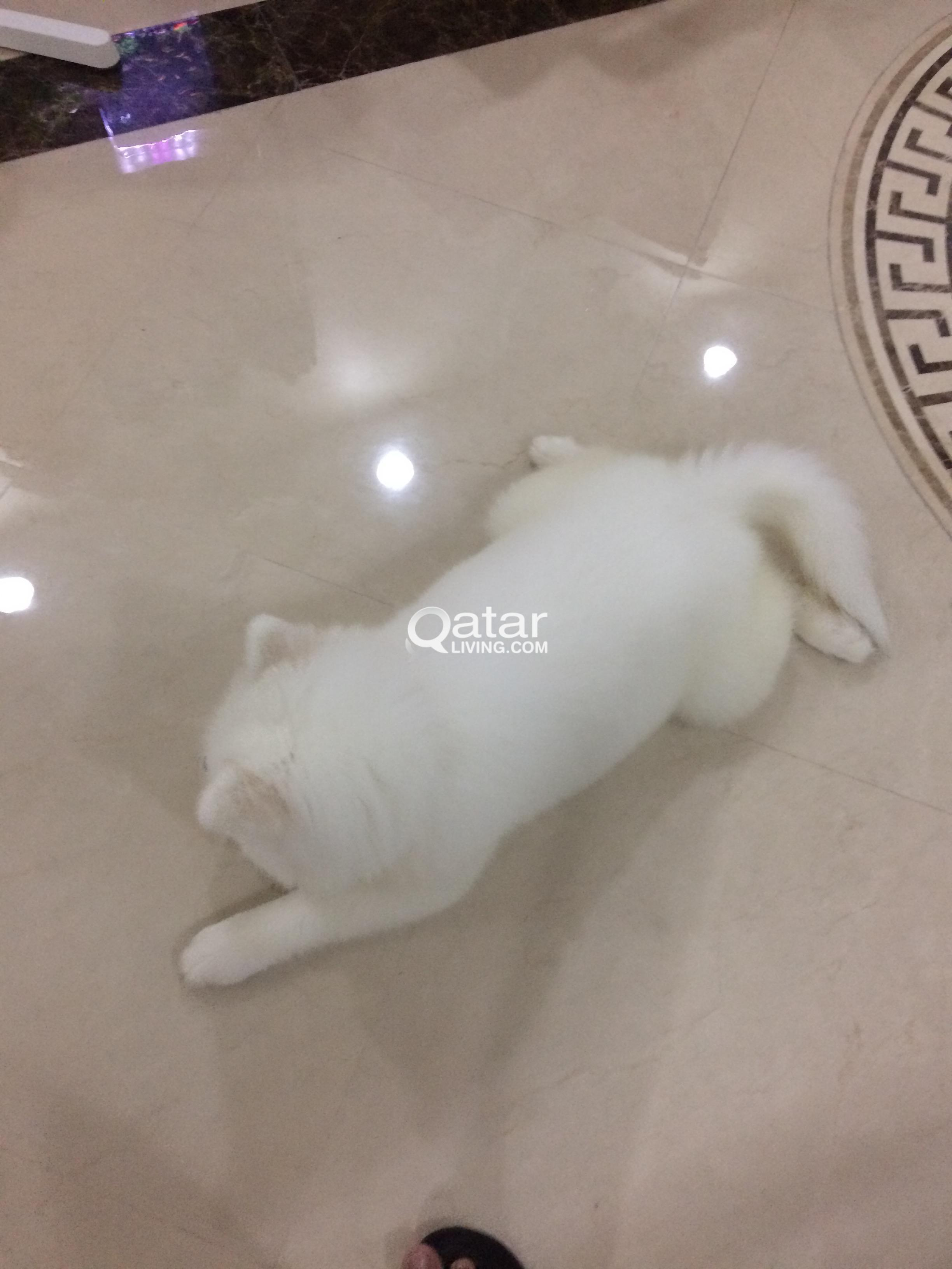 DOG FOR SALE , (SAMOYED) | Qatar Living
